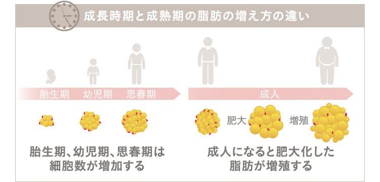 成長時期と成熟期の脂肪の増え方の違い